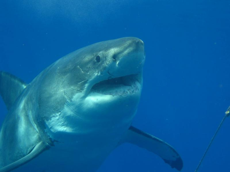 great white sharl